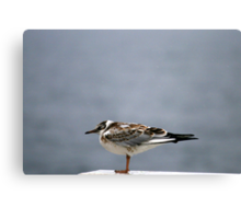 Young Kittiwake Canvas Print