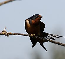 Barn Swallow Stretching by Wolf Read
