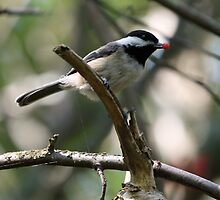 Rudolph the Black-Capped Chickadee (Frame 2) by Wolf Read