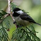 Black-Capped Chickadee in Western Redcedar Tree by Wolf Read