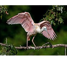 Cajun Flamingo Photographic Print