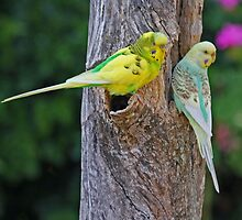 Special Budgerigar