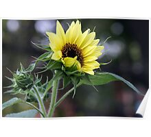 BEAUTY OF A SUNFLOWER Poster