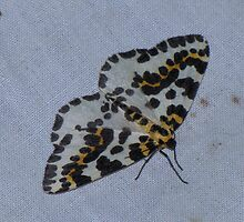 The Magpie Moth by Sharon Perrett