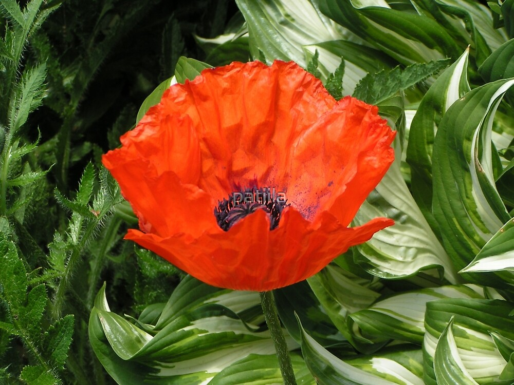 Amongst the green there is a Red Poppy by patjila