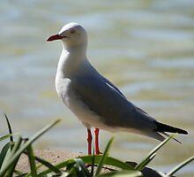 Seagull by Rochelle Buckley