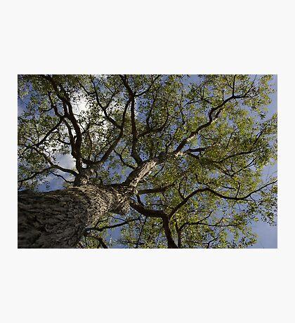 Eucalypt II - Tall Timber series Photographic Print