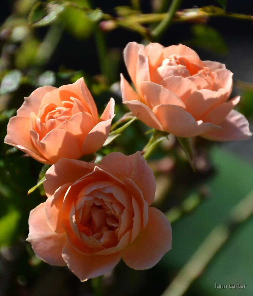 Apricot Roses by lynn carter