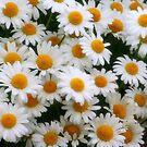 Daisy Love by kkphoto1