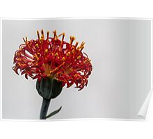 Red Macro Flower Poster