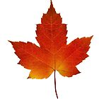 Maple Leaf - Algonquin Park, Canada by Jim Cumming