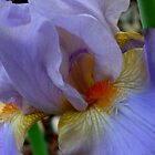 Iris Dream by mussermd