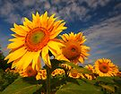 Sunflower morning 2 by SWEEPER