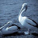 Blue Pelicans by pennyswork