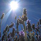 Lavender in the sun by Dawn Ostendorf