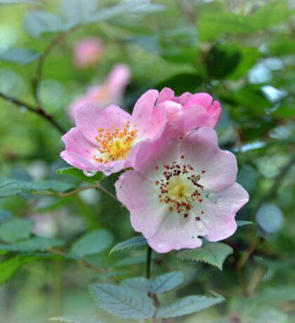 Wild Roses In The Garden.......... Sticker