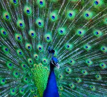 Proud Peacock by Sue Martin