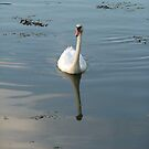 Swan at dusk by Alice Oates