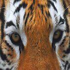 Tiger's Eyes  by Dawn B Davies-McIninch