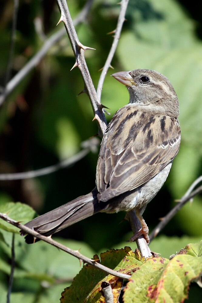 House Sparrow Female on Blackberry Vine by Wolf Read