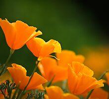 Orange Poppies by Blaze  Williams