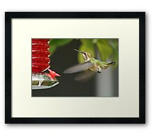 Feeding Hummingbird Framed Print
