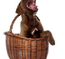 retriever puppy barks and sits in a basket by utekhina