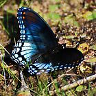 Brush-footed Butterfly by barnsis
