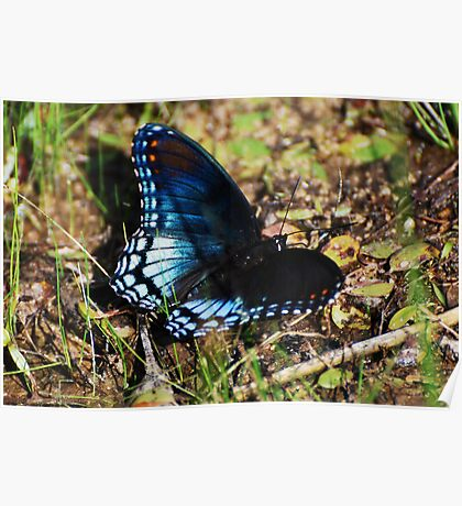 Brush-footed Butterfly Poster