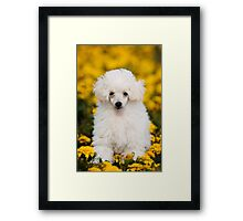 White poodle puppy in flowers Framed Print