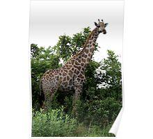 Giraffe in Okavango Delta Poster