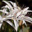 Crinum Lily by Donna Adamski