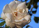 Rose in Sunlight by Sandy Keeton