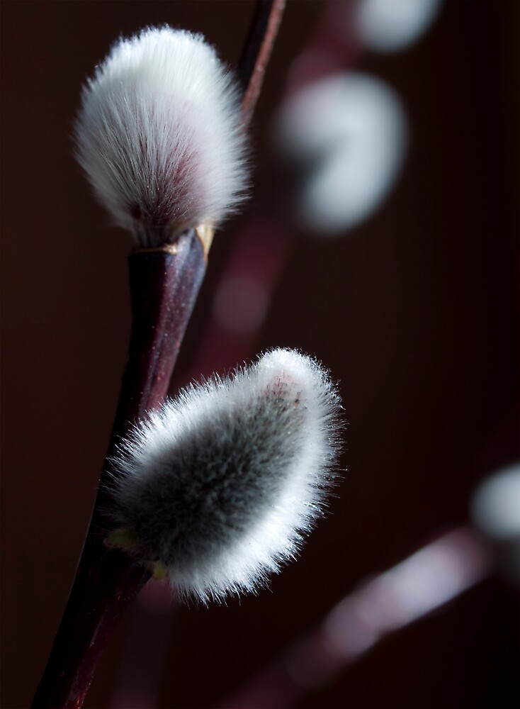 Pussy Willow by Jenni77