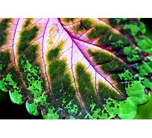 Nature's wonder - coleus Photographic Print