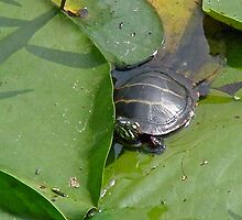 Young Painted Turtle on Lily Pads by MotherNature