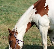 Grazing Pinto by Alyce Taylor