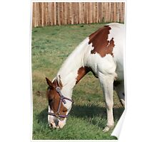 Grazing Pinto Poster