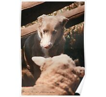 Sheep Yard Stand Off © Vicki Ferrari Photography Poster