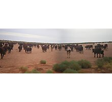 Cattle on a claypan Photographic Print