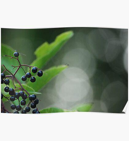 Elderberry Poster
