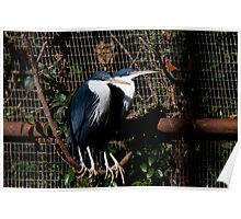 Pied Herons Poster
