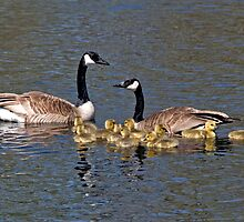 CANADA GEESE by Raoul Madden