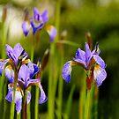 Purple  irises  by LudaNayvelt