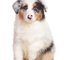 Cute Puppy Australian Shepherd by utekhina