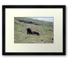 Lounging Buffalo Framed Print
