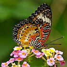 Lacewing (Cethosia biblis) by Steve  Liptrot