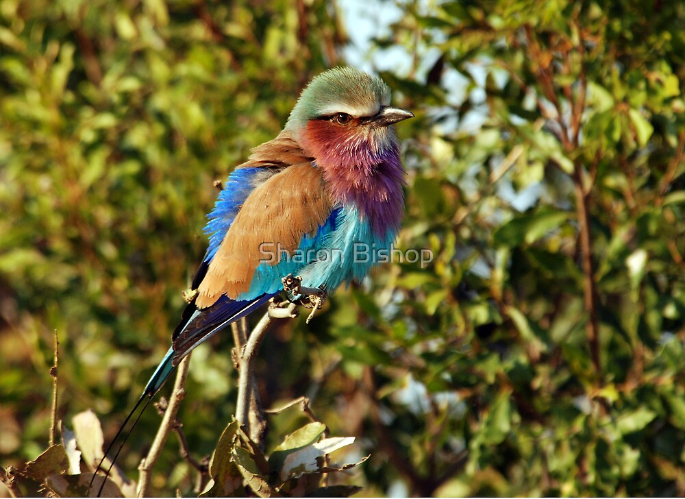 Winter Fluff - Lilac Breaster Roller, Okavango Delta by Sharon Bishop