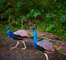 Peacocks in the streets by jujushwa