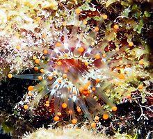 Orange Club Tipped Sea Anemone by Amy McDaniel